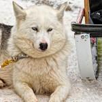 2015 Kearney Dog Sled Photos by Richard Coburn www.CoburnPix.com